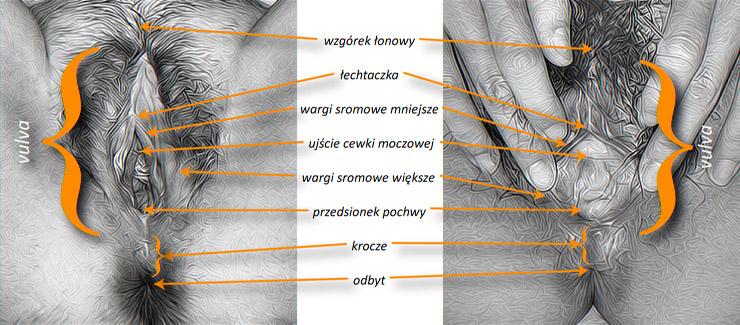 vulva, łechtaczka, wargi, krocze iprzedionek - anatomia, zewnętrzne narządy płciowe